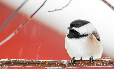 Chickadee Mixed Media - Relaxed by Optical Playground By MP Ray