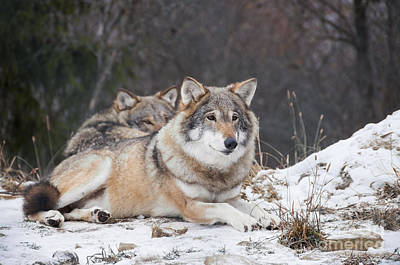 Wolf Photograph - Resting Wolves by Gry Thunes