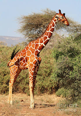Giraffe Photograph - Reticulated Giraffe by Liz Leyden