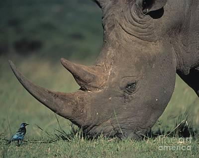 Rhino And Starling Print by Martin Harvey
