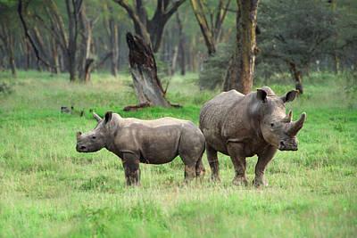 Rhino Family Print by Sebastian Musial