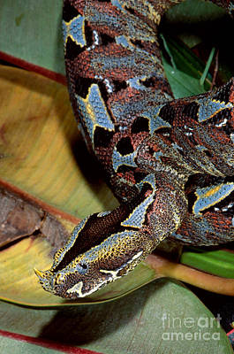 Viper Photograph - Rhino Viper by Gregory G. Dimijian, M.D.