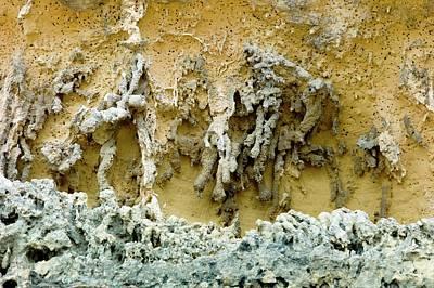 Rhizoliths In A Sandstone Cliff Print by Dr Jeremy Burgess