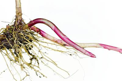 Rhizomes Of Lysimachia Punctata Print by Dr Jeremy Burgess