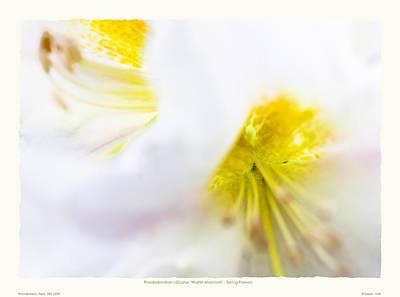 Rhodendron 'walter Maynard' - Spring Flowers Print by Saxon Holt