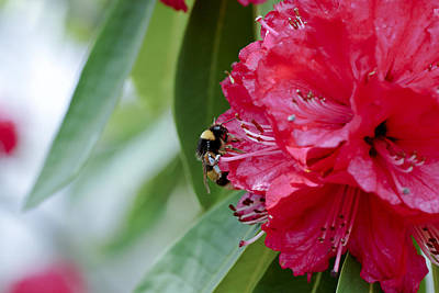 Rhododendron With Bumblebee Print by Frank Tschakert