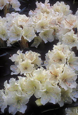 Rhododendrons Print by Anonymous
