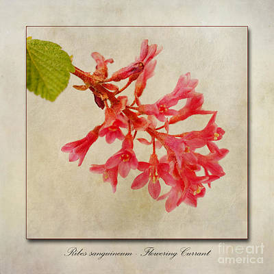 Red Leaf Digital Art - Ribes Sanguineum  Flowering Currant by John Edwards