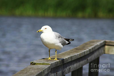 Ring-billed Gull Print by Alyce Taylor