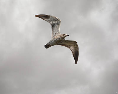Larus Delawarensis Photograph - Ring Billed Gull At Reelfoot by Jai Johnson