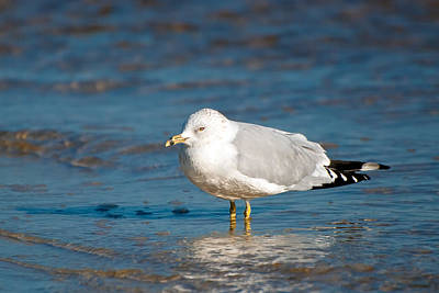 Larus Delawarensis Photograph - Ring-billed Gull by Rich Leighton