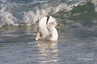 Larus Delawarensis Photograph - Ring-billed Gull by William H. Mullins