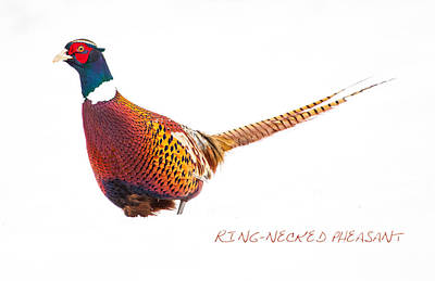 Pheasant Photograph - Ring Neck by Karol Livote