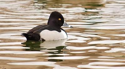 Joy Dinardo Bradley Dinardo Designs Photograph - Ring-necked Duck by Joy Bradley