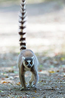 Ring-tail Lemur Photograph - Ring-tailed Lemur by Dr P. Marazzi