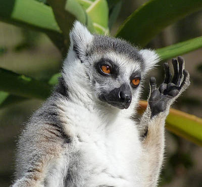 Ring-tailed Lemur In Sunshine  Print by Margaret Saheed