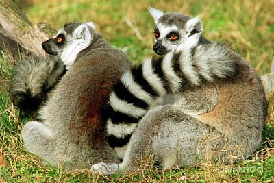 Ring-tailed Lemur Lemur Catta Pair Print by Millard H. Sharp