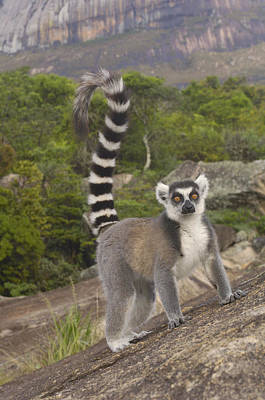 Lemur Tail Photograph - Ring-tailed Lemur On Rocks Madagascar by Pete Oxford
