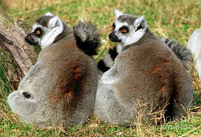 Ring-tailed Lemurs Lemur Catta Print by Millard H. Sharp
