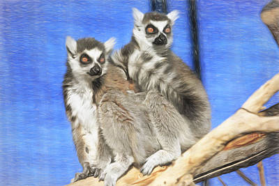 Ring-tail Lemur Photograph - Ring-tailed Lemurs- Sedona And Verde by Donna Kennedy