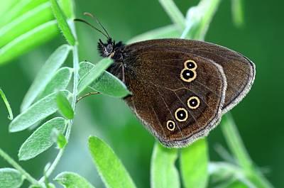Ringlet Butterfly Print by Colin Varndell