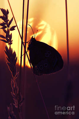 Ringlet Butterfly Sunset Silhouette Print by Tim Gainey