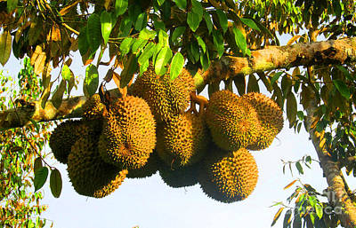 Ripe Durian Cluster Print by Tina M Wenger
