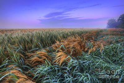 Ripening Barley At Dawn Print by Dan Jurak