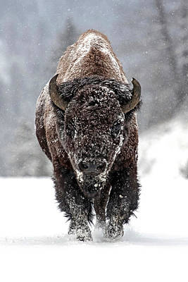Bison Photograph - Road Warrior by Sandy Sisti