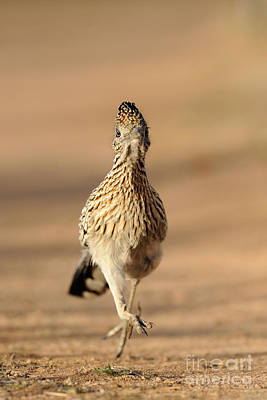 Roadrunner Photograph - Roadrunner Running by Scott Linstead