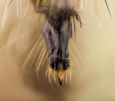 Proboscis Photograph - Robber Fly Proboscis by Nicolas Reusens