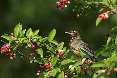 Robin And Berries Print by Mircea Costina Photography