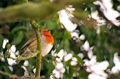 Robin  Print by Dave Woodbridge
