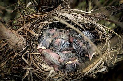 Eggs Photograph - Robin Egg Nest Hatchlings by LeeAnn McLaneGoetz McLaneGoetzStudioLLCcom
