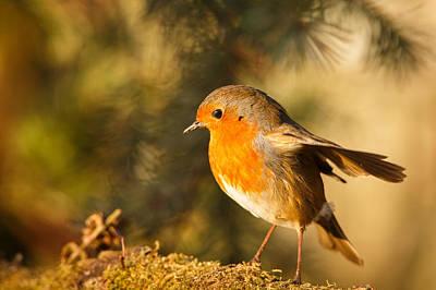 Izzy Photograph - Robin In Sunlight by Izzy Standbridge