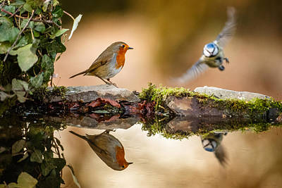 Robin Reflection With Blue Tit Flying In Print by Izzy Standbridge