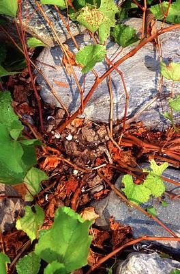 Rock Grape Vine Print by Scott Bauer/us Department Of Agriculture