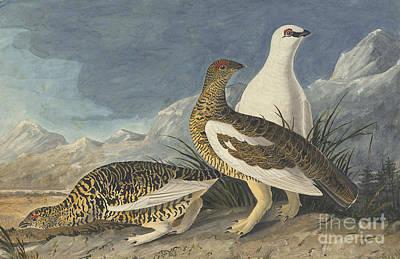 Heron Drawing - Rock Ptarmigan  by Celestial Images