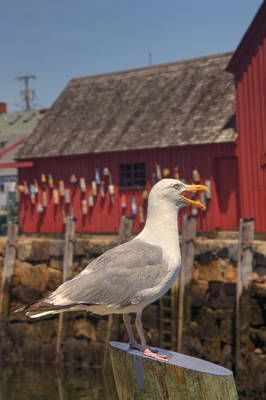Row Boat Photograph - Rockport Harbor Seagull by Joann Vitali
