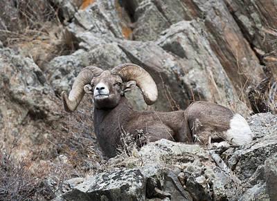 Ram Horn Photograph - Rocky Mountain Big Horn Ram On Watch II by Gary Langley