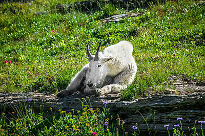 Ledge Photograph - Rocky Mountain Goat Glacier National Park   by Rich Franco