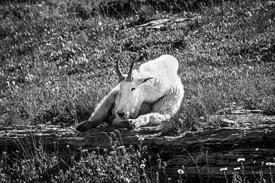 Ledge Photograph - Rocky Mountain Goat Glacier National Park Bw  by Rich Franco