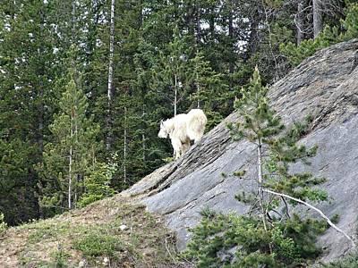 Rocky Mountain Goat Print by Janet Ashworth