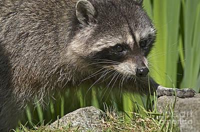 Raccoon Photograph - Rocky Raccoon by Sharon Talson