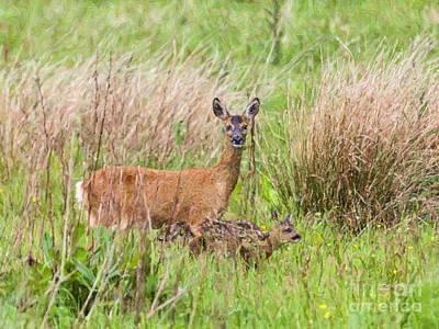 Deer Digital Art - Roe Deer Capreolus Capreolus With Two Fawns by Liz Leyden