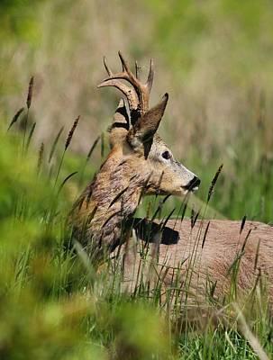 Photograph - Roe Deer by Dragomir Felix-bogdan