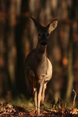 Photograph - Roe Deer Female by Dragomir Felix-bogdan