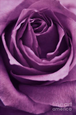 Purple Rose Photograph - Romance IIi by Angela Doelling AD DESIGN Photo and PhotoArt