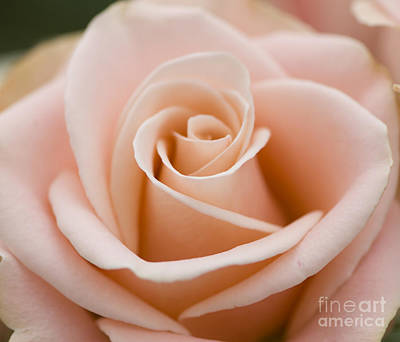 Floral Photograph - Romantic Pink Rose by Oscar Gutierrez