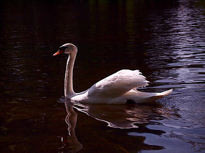 Swan Photograph - Romeo Or Juliet by Rona Black